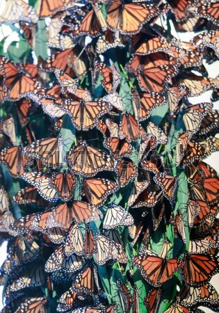 Stock photo: Monarch Butterfly Cluster