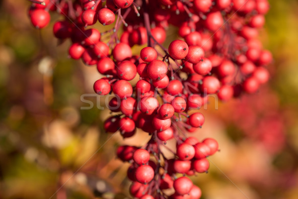 Heavenly Bamboo - Nandina Domestica Stock photo © yhelfman