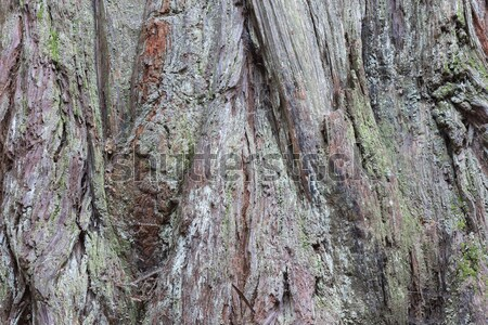 Redwood Trunk Details Stock photo © yhelfman