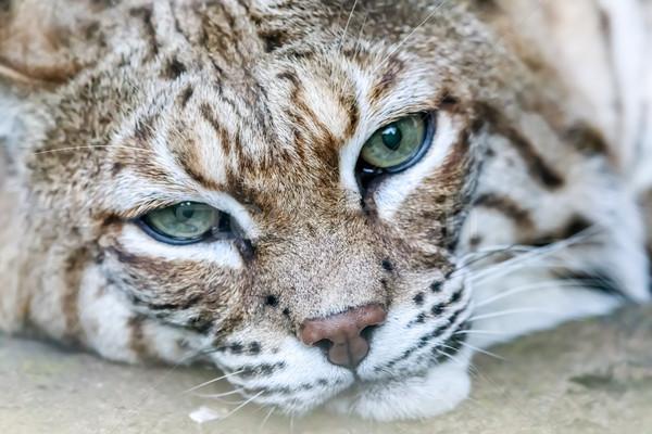 Bobcat (Lynx rufus californicus) head. Stock photo © yhelfman