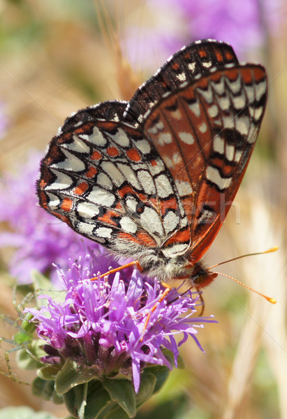 Variable Checkerspot (Euphydryas chalcedona) butterfly drinks flower nectar Stock photo © yhelfman