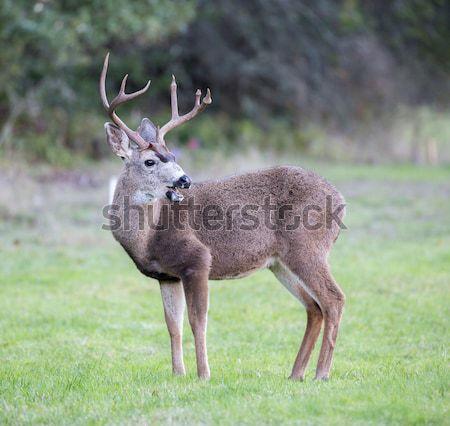 Black-tailed Deer, Odocoileus hemionus, Male Stock photo © yhelfman