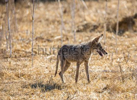 Young Coyote (Canis latrans) Stock photo © yhelfman