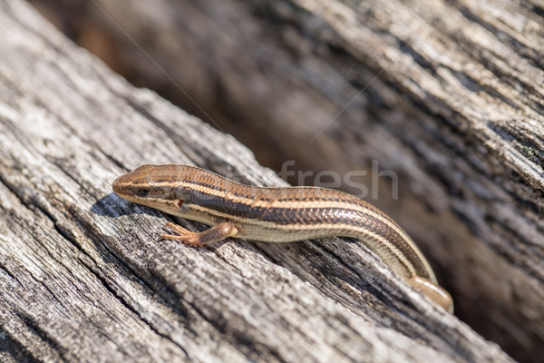 Western Skink (Plestiodon skiltonianus) basking in the sun. Stock photo © yhelfman