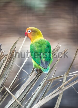 Fischer's Lovebird, Agapornis fischeri Stock photo © yhelfman