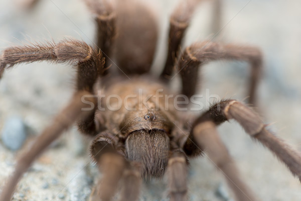 Tarantula - Aphonopelma, Contra Costa County, California, USA, Fall 2016. Stock photo © yhelfman