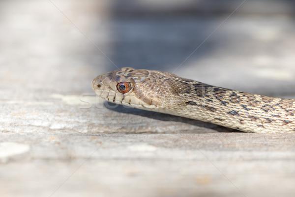 Yılan yetişkin kafa Evcil makro Stok fotoğraf © yhelfman