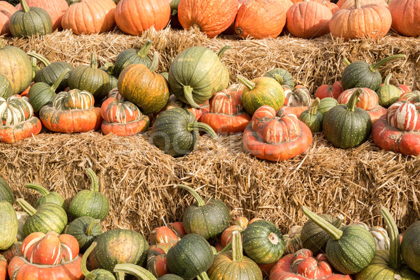 Mixture of Pumpkin and Squash in a Pumpkin Patch in Northern California Stock photo © yhelfman