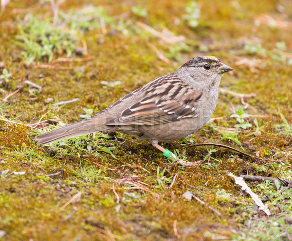 Golden-crowned Sparrow (Zonotrichia atricapilla) perched on the ground. Stock photo © yhelfman