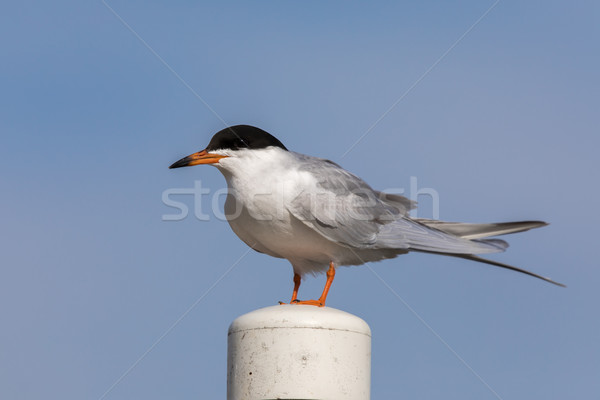 Common tern (Sterna hirundo) perching on a pole. Stock photo © yhelfman
