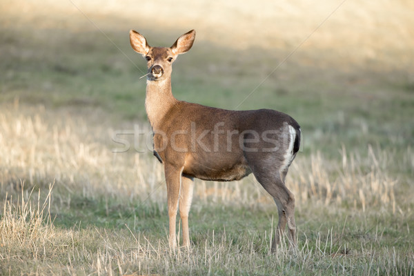Cautious Black-tailed Deer Interrupted Eating. Stock photo © yhelfman