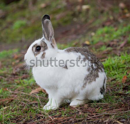 European Domestic Rabbit (Oryctolagus cuniculus domesticus) Stock photo © yhelfman