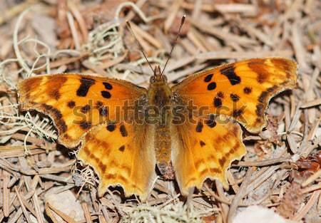 Satyr Comma (Polygonia satyrus) butterfly Stock photo © yhelfman