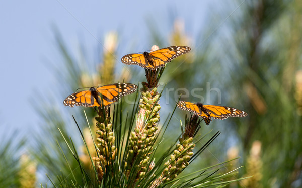 Monarch Butterflies Perched on Monterey Cypress Tree Stock photo © yhelfman