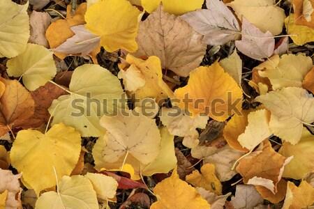 Lime Tree (Tilia) Leaves in Autumn. Stock photo © yhelfman