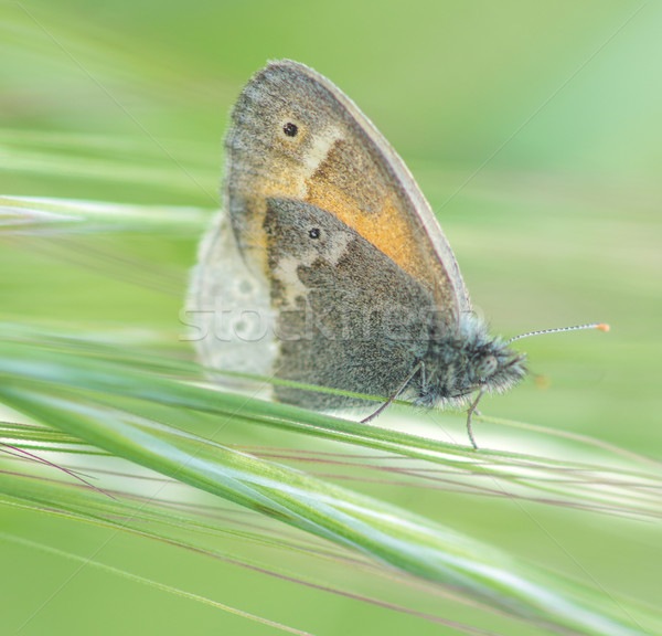 Common Ringlet butterfly in the Meadow Stock photo © yhelfman