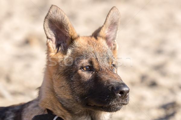 German Shepherd Puppy Head Stock photo © yhelfman