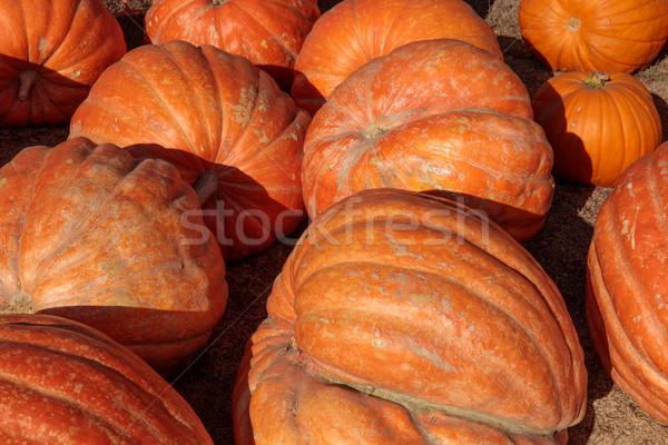Jumbo Pumpkins in Halloween on display for sale. Stock photo © yhelfman