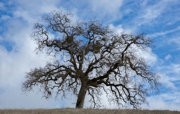 Kaliforniya meşe kuzey meşe ağacı dramatik Stok fotoğraf © yhelfman