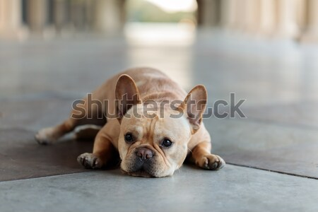 French Bulldog lying down on the floor. Stock photo © yhelfman
