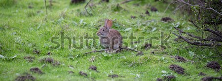 Alert Cottontail Rabbit (Sylvilagus) sitting in grassland Stock photo © yhelfman