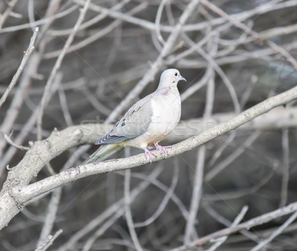 喪 鳩 遅い 冬 カリフォルニア 米国 ストックフォト © yhelfman