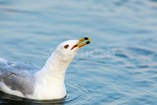 Llamando lago libertad volar blanco Foto stock © yhelfman