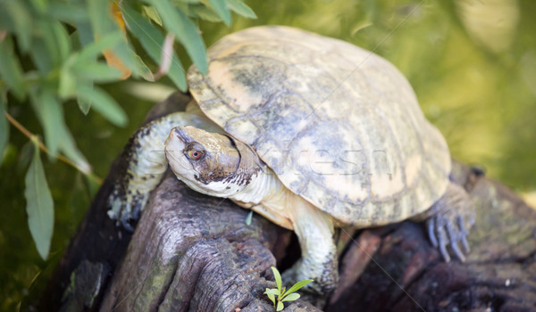 Western Pond Turtle (Actinemys marmorata or Emys marmorata) Stock photo © yhelfman