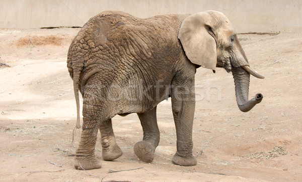 African Bush Elephant (Loxodonta africana) Stock photo © yhelfman