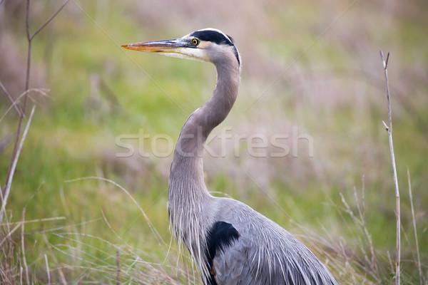 Great Blue Heron - Ardea Herodias headshot in the grasslands Stock photo © yhelfman
