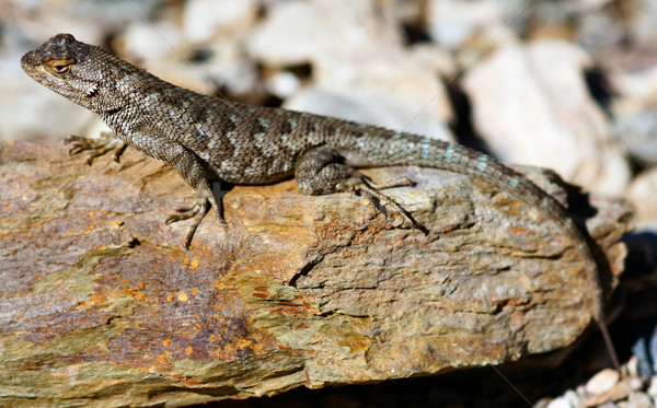 Northwestern Fence Lizard (Sceloporus occidentalis) on a colorful rock Stock photo © yhelfman