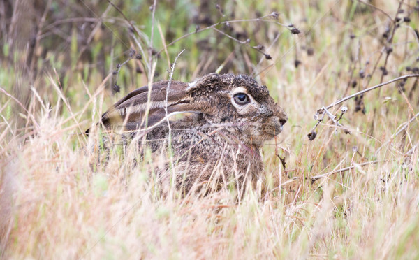 black-tailed jackrabbit (Lepus californicus) - American desert hare, alert Stock photo © yhelfman