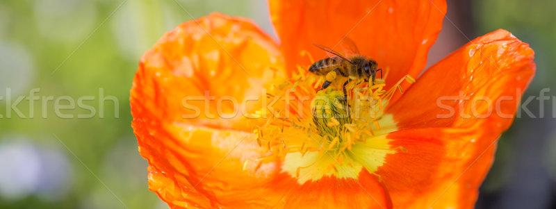 Bee (Apis) on Ice Poppy (Papaver nudicaule) Flower Stock photo © yhelfman