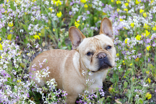 French Bulldog in Bloom in Northern California. Stock photo © yhelfman