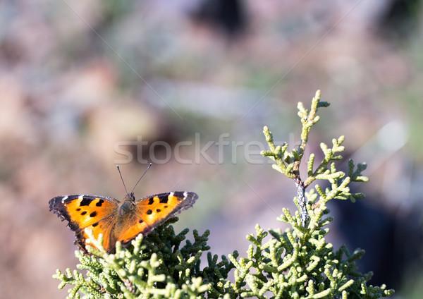 Virgola farfalla albero arancione Foto d'archivio © yhelfman
