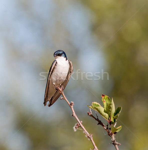 Tree Swallow - Tachycineta bicolor, adult, male Stock photo © yhelfman