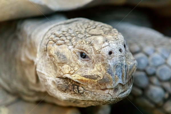 African Spurred Tortoise (Centrochelys sulcata) head shot. Stock photo © yhelfman