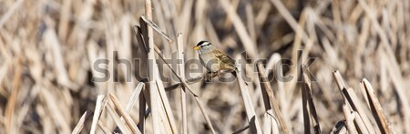 White-crowned Sparrow - Zonotrichia leucophrys Stock photo © yhelfman