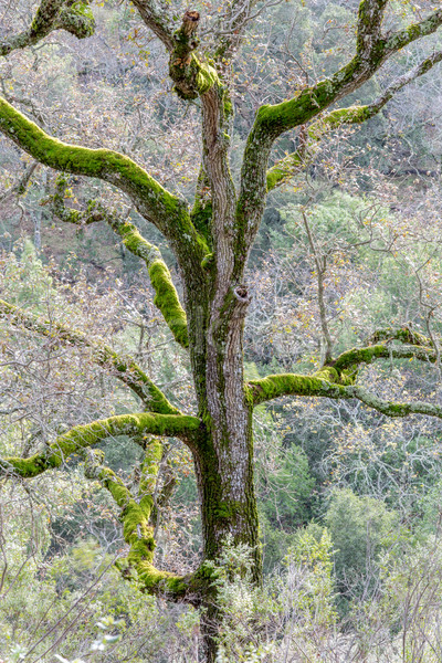 Oak Tree Covered with Moss Stock photo © yhelfman