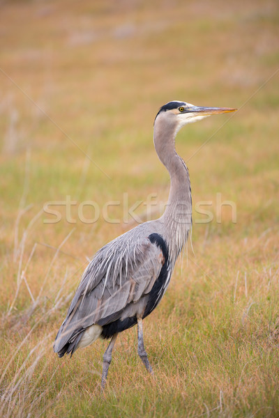 Great Blue Heron - Ardea Herodias foraging in the grasslands Stock photo © yhelfman