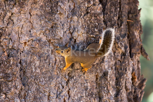 Stock photo: American Red Squirrel (aka Chickaree Squirrel or Pine Squirrel) - Tamiasciurus hudsonicus