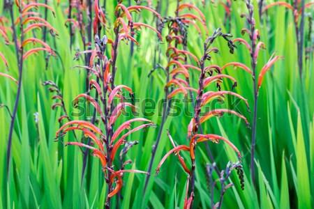 Caer estrellas florecer naturaleza jardín fondo Foto stock © yhelfman