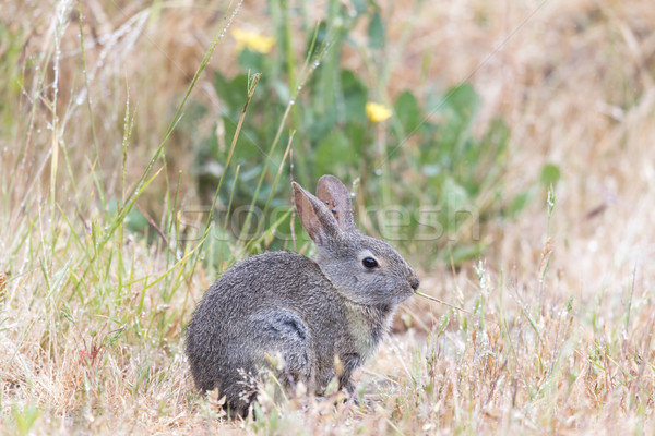 Young Cottontail Rabbit (Sylvilagus) munching grass with cautious. Stock photo © yhelfman