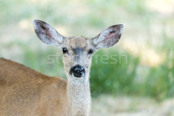 Black-tailed Deer (Odocoileus hemionus) Head, Adult Female. Stock photo © yhelfman