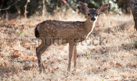 Black-tailed Deer (Odocoileus hemionus) Fawn Stock photo © yhelfman