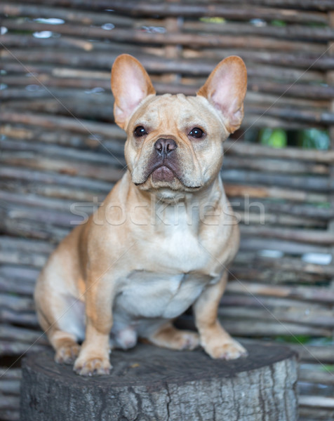 French Bulldog - Canis lupus familiaris, 6 months old, Portrait Stock photo © yhelfman