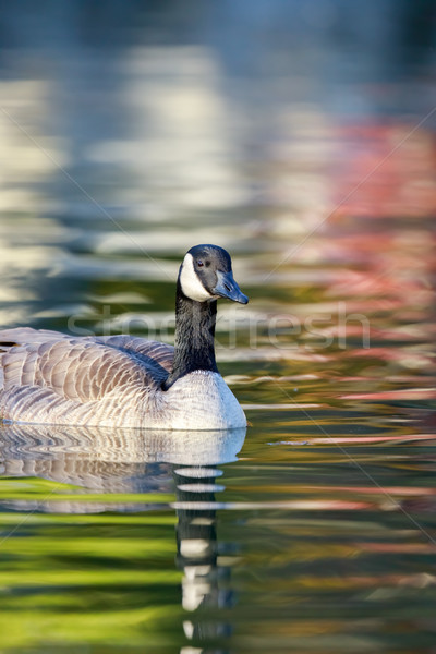 Canada Goose (Branta Canadensis) wading in colorful pond. Stock photo © yhelfman