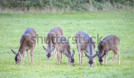 Black-tailed Deer, Odocoileus hemionus, Herd Stock photo © yhelfman