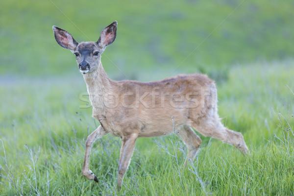 Herten reekalf Californië USA zwarte Stockfoto © yhelfman