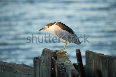 Black-crowned Night-Heron (Nycticorax nycticorax)  Stock photo © yhelfman